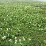 太郎平にほど近いところにある、ハクサンイチゲの群生地。この一面の野の花を、天上の友人に捧ぐ。