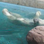 シロクマの川流れ