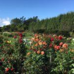 十勝ガーデンにも行ったけど、花の素晴らしさは紫竹ガーデンに軍配
